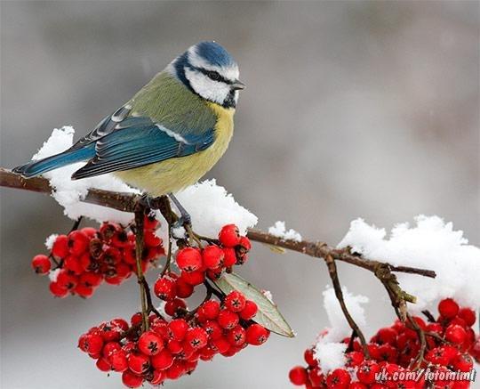 Обои На Рабочий Стол Птицы Зимой