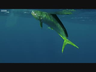 Flying fish picked off from above and below. the hunt.