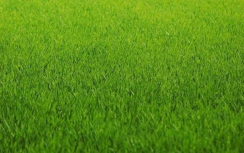 Как правильно стричь газон, изображение №2