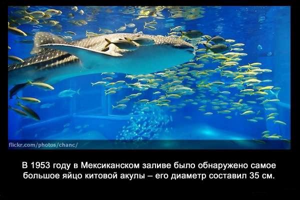 валтея - Интересные факты о акулах / Хищники морей.(Видео. Фото) UWThInIk7ds