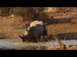 What an incredible sighting!! White rhinos fighting, that horn came very close to causing serious damage