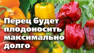 СЛАДКИЙ ПЕРЕЦ В АВГУСТЕ. 4 шага, чтобы продлить плодоношение