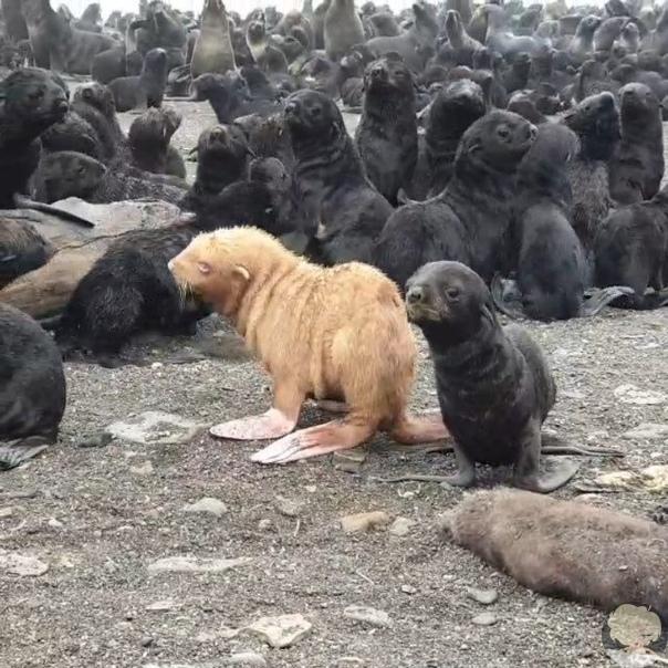 Настоящее сокровище: очаровательный морской котик-альбинос родился на острове Тюлений
