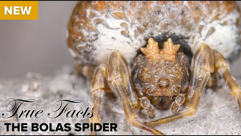 True Facts The Bolas Spider