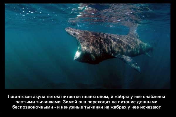 валтея - Интересные факты о акулах / Хищники морей.(Видео. Фото) TQRRdogsbes