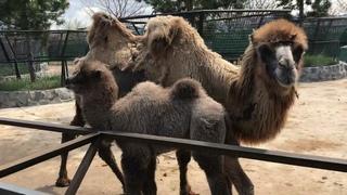 ЛаПушкин растет очень миленьким верблюжонком! LaPushkin grows up as a very cute little camel!