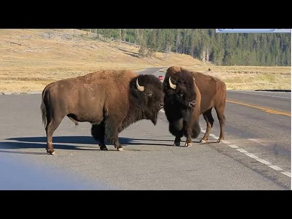 Incredible Yellowstone Bison Battle on the ponyboy