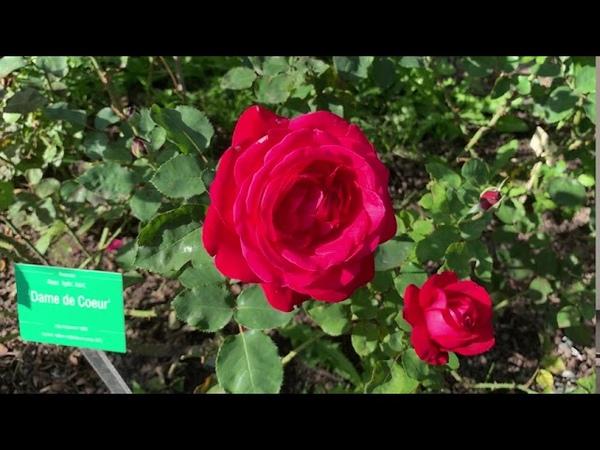 Экскурсия по Розарию Ботанического сада Петра Великого Ч7