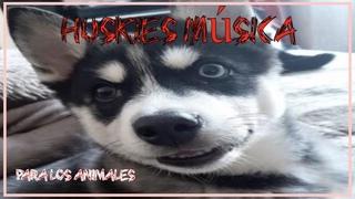 Huskies! Música Para los animales
