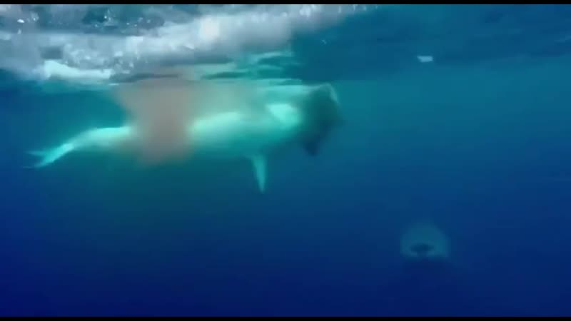 Белая акула разрывает морского котика