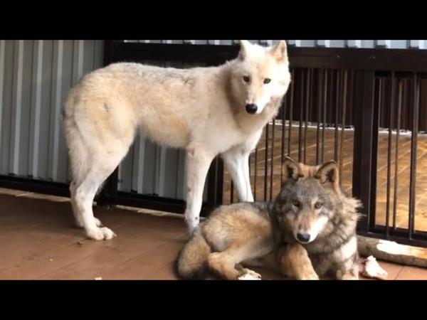 Волчонок напал на Волчицу Волк не отдал курицу Запустили таёжного волчонка к Арктической волчице