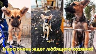 Собака-подросток Кира уже проявляет охранные качества. Будет охранять и вас! Подарите ей дом!