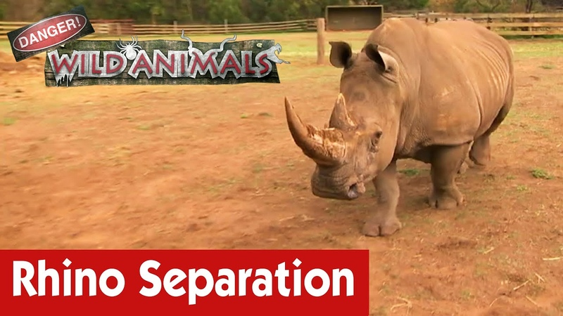 Опасно Дикие животные Отделение носорога от матери Separating A Rhino From The Mother E04 Danger Wild Animals