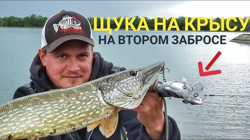 ЩУКА на МЫШЬ Весенняя рыбалка на щуку Щука атаковала крысу на втором забросе