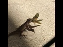 Moth Flaps Wings and Flies Away With Lizard While Being Caught in its Mouth 1074239