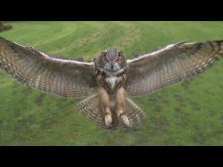 Сповільнена зйомка польоту сови.