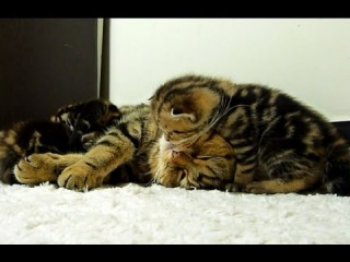 Cutest fluffy Kitten loves cat - mom. Funny Cats and Cute Kittens Video.