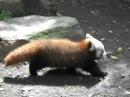 Baby red panda ·