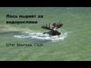 Diving Moose on Swiftcurrent Trail Ныряющий лось на подводном выпасе
