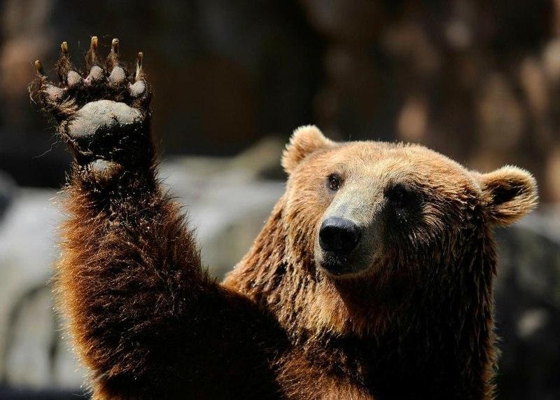 Ручной медведь картинки