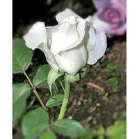Роза чайно гибридная Анна Мария