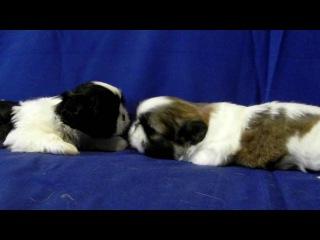 Shih Tzu - Puppys