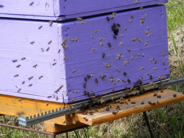 Пчёлки 22 Облёт молодых пчёл