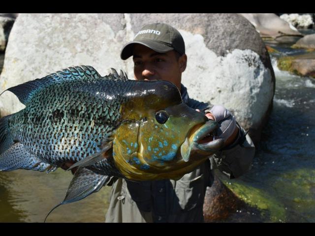 CRISTIAN VANEGAS Pesca de Mojarra Azul en Colombia caquetaia umbrifera Umbee Fishing Colombia