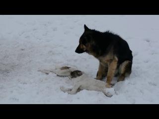 Пёс несколько дней охранял погибшую «подругу»