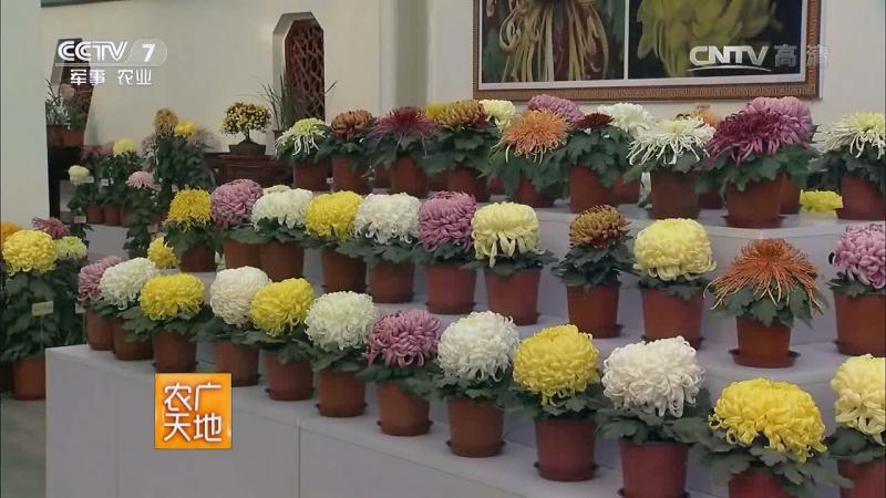 Хризантемы ''Цзюй'', или ''ЦзюйХуа'' (Хризантема цветок). Декоративные Хризантемы ''Часы Дзю'', или ''ГуаньШан''. Технология кул