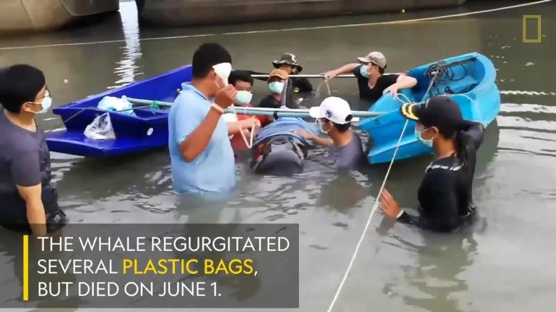 8 кг пластиковых пакетов убили фарерского дельфина (гринда)