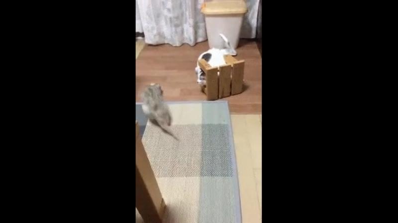 Ни фига себе крыса Кот прячется от фретки