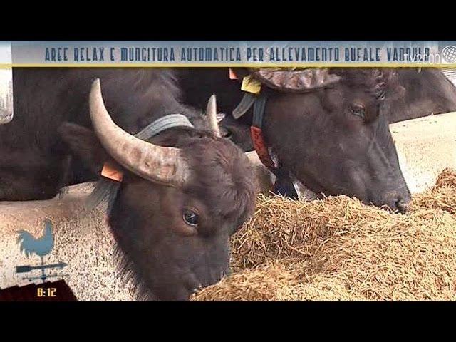 Aree relax e mungitura automatica per le bufale dellallevamento Vannulo