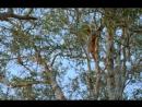 BBC Жизнь млекопитающих The Life of Mammals 2002 2003 08 Жизнь на деревьях