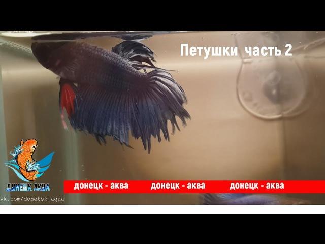 петушки 2 Betta аквариумистика HOW TO Care for kuidas Betta Fishi hoolitseda akvariistika