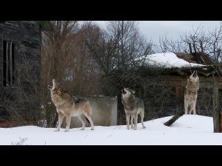 Стая волков в заброшенной деревне [Чернобыльская зона] | Film Studio Aves
