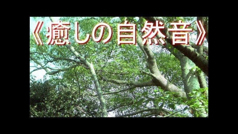 《癒しの自然音》 セミ の鳴き声 真夏の森林  リフレッシュ・スト 654