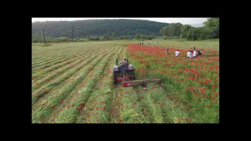 Мега аттракцию уникальное маковое поле возле Ужгорода уничтожил трактор