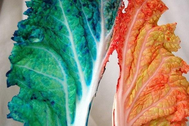 КАК РАСТЕНИЯ ПЬЮТ ВОДУ 1. Капустный лист надрезаем с одного конца. Пищевые красители двух цветов разводим водой по разным баночкам или стаканам. Ставим наш лист в воду и наблюдаем за