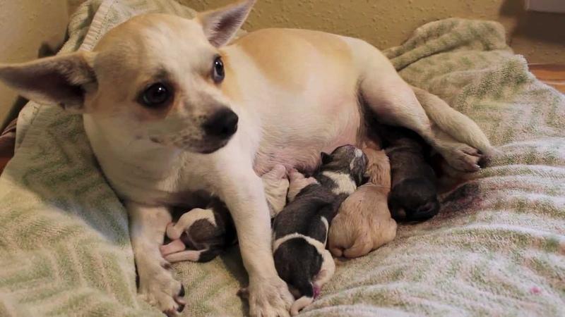 Denver's fourth puppy Chihuahua Pug Mix Giving Birth