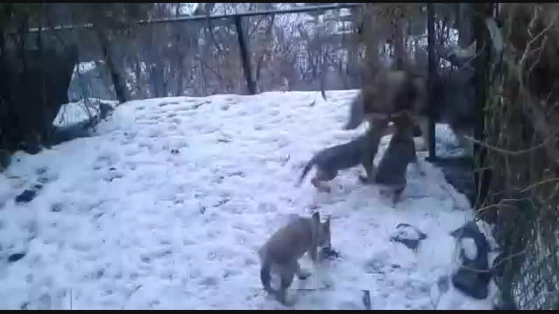 Влчаки на первой прогулке