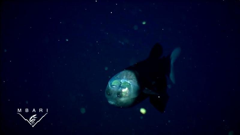 Малоротая макропинна или бочкоглаз рыба с прозрачной головой
