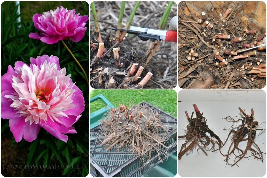 Как и где хранить разделённые осенью корни пионов
