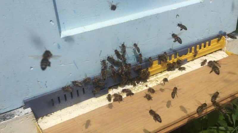 Активный облет молодой пчелы