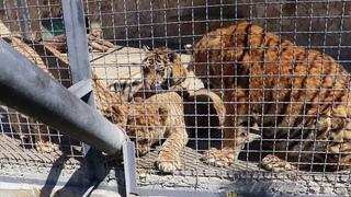Молодёжь! А львёнок самый младший за всех съел))) Тайган. Белогорск. Крым.