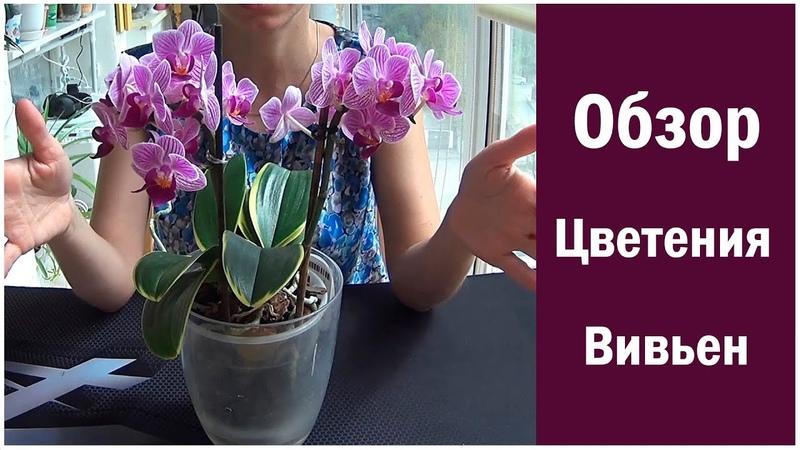 Обзор Цветения орхидеи Сого Вивьен вариегатный Flowering Sogo Vivien variegata Orchid