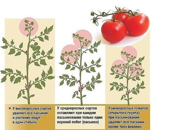 Пасынкование и прищипывание томатов - важная часть ухода за растениями, влияющая на урожайность