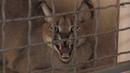 Хищные домашние питомцы: в Экопарк отдали бенгальскую кошку и каракала - 02.07.2019