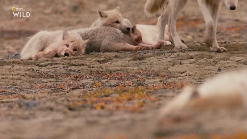 Королевство белого волка - Последняя охота | 3 серия из 3 | 2019 | HD 1080