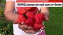 ЛИНОСА - ремонтантный сорт Клубники в РОССИИ. Ягоды до морозов!